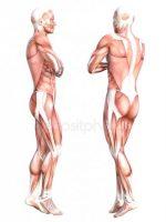 Ткани картинки анатомия – Картинки скелетная мышечная ткань, Стоковые Фотографии и Роялти-Фри Изображения скелетная мышечная ткань
